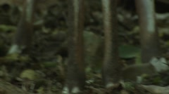 Bushbuck Doe Adult Lone Winter Feet Face Tilt Up Stock Footage
