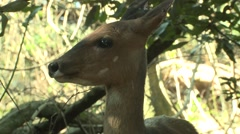 Bushbuck Doe Adult Winter Habitat Zoom Out Stock Footage
