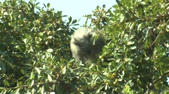 Samango Monkey Adult Lone Feeding Winter Sykes Blue Stock Footage