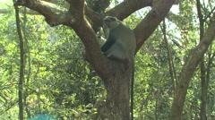 Samango Monkey Adult Lone Resting Winter Sykes Blue Backlight Stock Footage