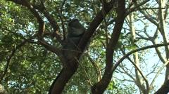 Samango Monkey Adult Lone Resting Winter Sykes Blue Zoom In Stock Footage