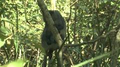 Samango Monkey Adult Lone Winter Sykes Blue Stock Footage