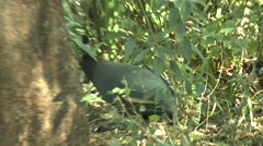 Guinea Fowl Adult Several Walking Winter Stock Footage