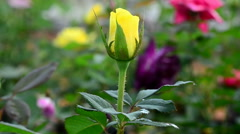 Rose bud in the wind Stock Footage