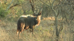 Nyala Buck Adult Lone Breeding Winter Stock Footage