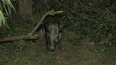Bush Pig Adult Lone Winter Night Floodlight Stock Footage