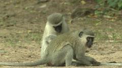 Vervet Monkey Pair Grooming Winter Scratching - stock footage