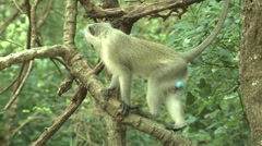 Vervet Monkey Male Adult Lone Winter Stock Footage