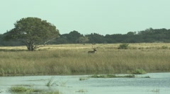 Waterbuck Male Adult Lone Winter Marsh Wetland Stock Footage