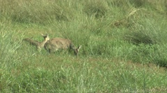 Reedbuck Male Female Several Feeding Winter Stock Footage