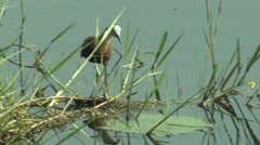 African Jacana Adult Lone Feeding Winter Stock Footage