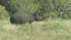 Black Rhinoceros Adult Lone Winter Stock Footage