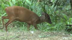 Red Duiker Adult Lone Winter Escape Stock Footage