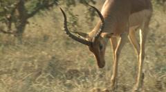 Impala Buck Adult Herd Breeding Winter Stock Footage