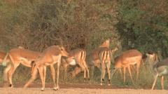 Impala Buck Doe Adult Herd Breeding Winter Harem Rut - stock footage