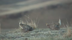Sharp-tailed Grouse Male Adult Pair Fighting Spring Dawn Lek Slow Motion Stock Footage