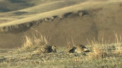 Sharp-tailed Grouse Male Adult Pair Fighting Spring Lek Slow Motion Stock Footage