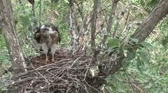 Cooper's Hawk Immature Summer Nest Stock Footage