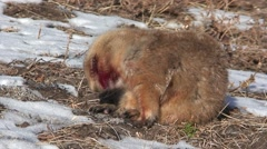 Black-tailed Prairie Dog Injured Winter Blood Attacked Stock Footage