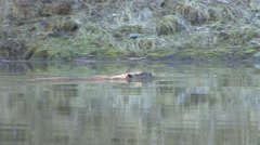 Beaver Lone Spring - stock footage