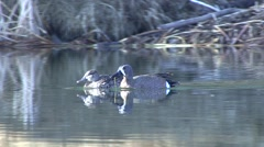 Blue-winged Teal Male Female Adult Pair Spring Stock Footage