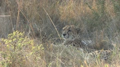 Cheetah Pair Resting Winter Stock Footage