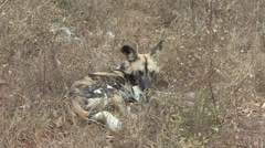 African Wild Dog Resting Winter Stock Footage