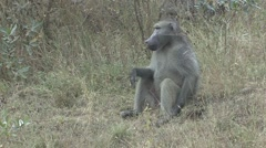 Chacma Baboon Male Adult Sitting Winter Stock Footage