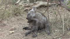 Spotted Hyena Young Family Grooming Winter Humor Falling - stock footage