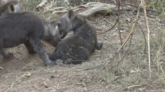 Spotted Hyena Adult Young Family Playing Winter Stock Footage