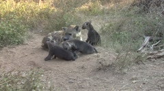Spotted Hyena Adult Young Family Playing Winter Wrestling Stock Footage
