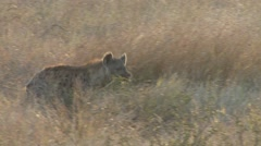 Spotted Hyena Lone Walking Winter Backlight Stock Footage