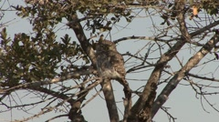Pearl Spotted Owlet Lone Winter Head Turn Spin Stock Footage