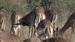 Impala Herd Winter Butts Tails Stock Footage