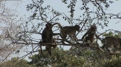 Chacma Baboon Several Playing Winter Stock Footage