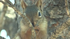 Red Squirrel Adult Lone Alarmed Spring Stock Footage