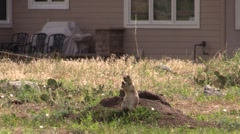 Black-tailed Prairie Dog Lone Feeding Summer Urban House Zoom Out Stock Footage