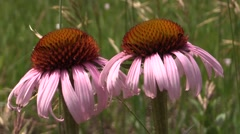 Purple Coneflower Pair Flower Summer Stock Footage