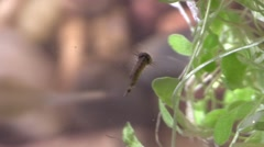 Mosquito Larvae Lone Summer Wiggler Floating - stock footage