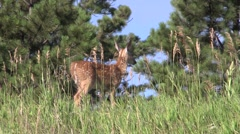White-tailed Deer Fawn Summer Spotted Arkistovideo