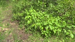 Poison Ivy Many Summer People Walking Hiking Stock Footage