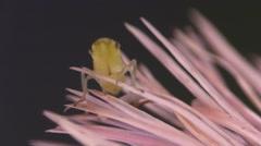 Spittlebug Adult Lone Breeding Summer Froghopper Shake Dance Display Stock Footage
