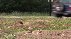 Black-tailed Prairie Dog Alarmed Summer Cars Traffic Urban Stock Footage