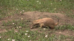 Black-tailed Prairie Dog Several Feeding Summer Urban Wildlife Nuisance Zoom Out - stock footage