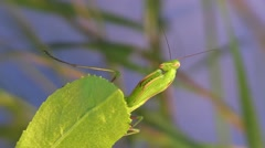 Praying Mantis Adult Lone Grooming Summer Floodlight - stock footage