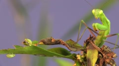 Stock Video Footage of Praying Mantis Adult Lone Hunting Summer Predation Kill Mortality Predator