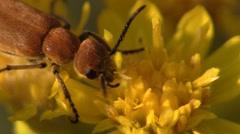 Stock Video Footage of Beetle Feeding Summer Yellow Flower Stamen Pollen Indoor