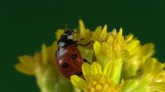 Ladybug Adult Lone Walking Summer Indoor - stock footage