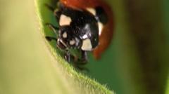 Ladybug Lone Summer Closeup Indoor - stock footage