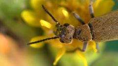 Stock Video Footage of Beetle Feeding Summer Pollen Stamen Flower Closeup Indoor